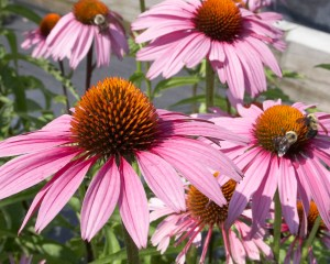 Echinacea Magnus is an example of a species that is native to the East coast and Midwest of the United States.  Here it is seen as a food source for some busy bees.