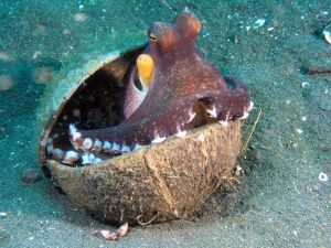 An octopus using two coconut shells as a shield. Photo via Massimo Capodicasa.