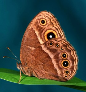 The butterfly Bicyclus anynana before it was bred to turn purple. Image via Antónia Monteiro.