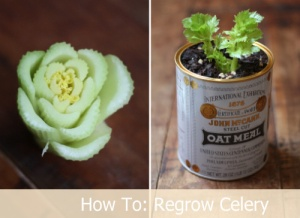 How to regrow celery from base roots