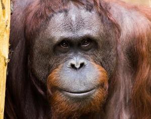 smiling-orangutan