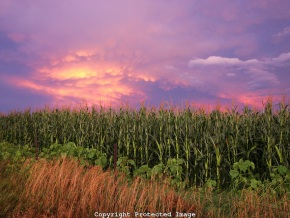 Nebraska-cornfield-and-sky-and-fence-and-grass