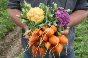 male hands holding bunches of vegetables in field