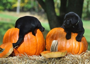 pumpkin puppy