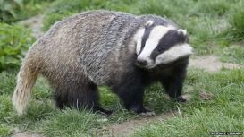 _58757263_badger-sciencelibrary.jpg